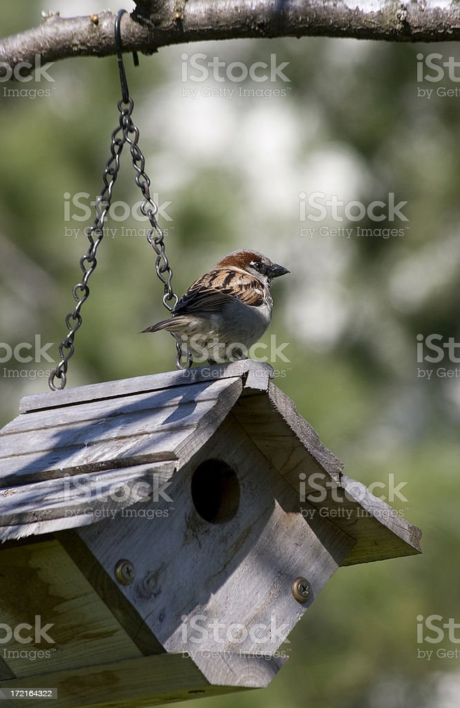 Sparrow Perched on a Birdhouse stock photo