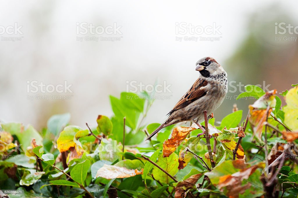 sparrow perched on a garden hedge stock photo