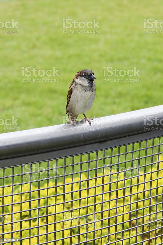 Sparrow Perched on Railing stock photo