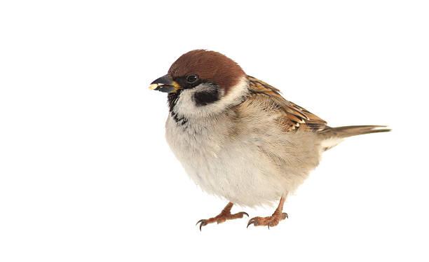 Sparrow picture id118935024?b=1&k=6&m=118935024&s=612x612&w=0&h=ya5x7jecmtg9ukinf9raddxqolir8xie2pqxus4xvqw=