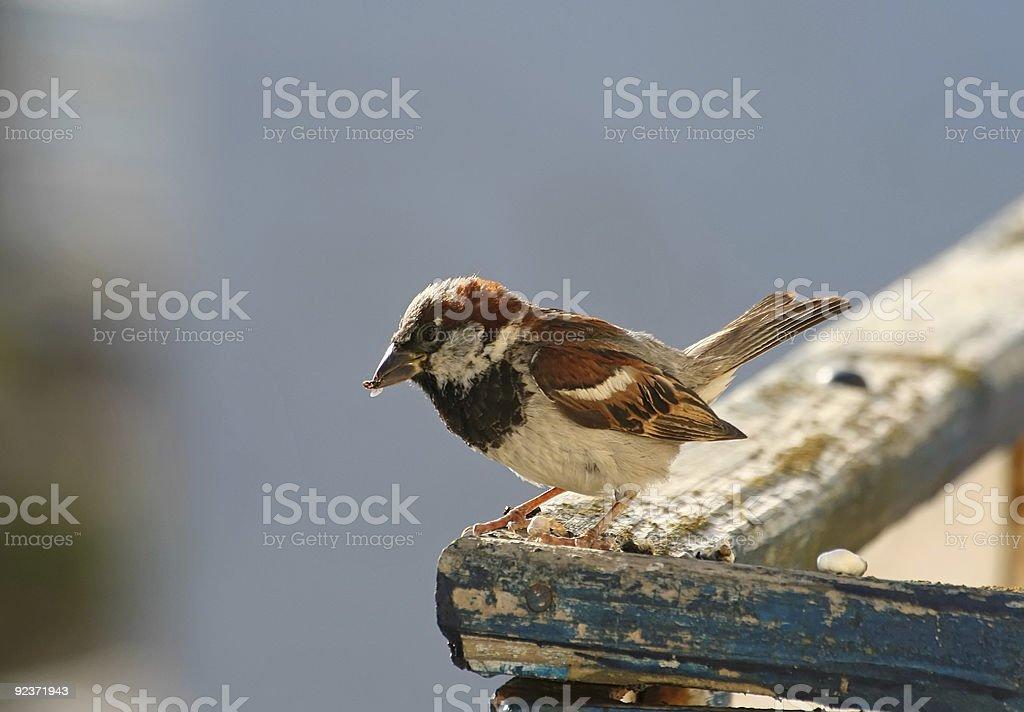 Sparrow royalty-free stock photo