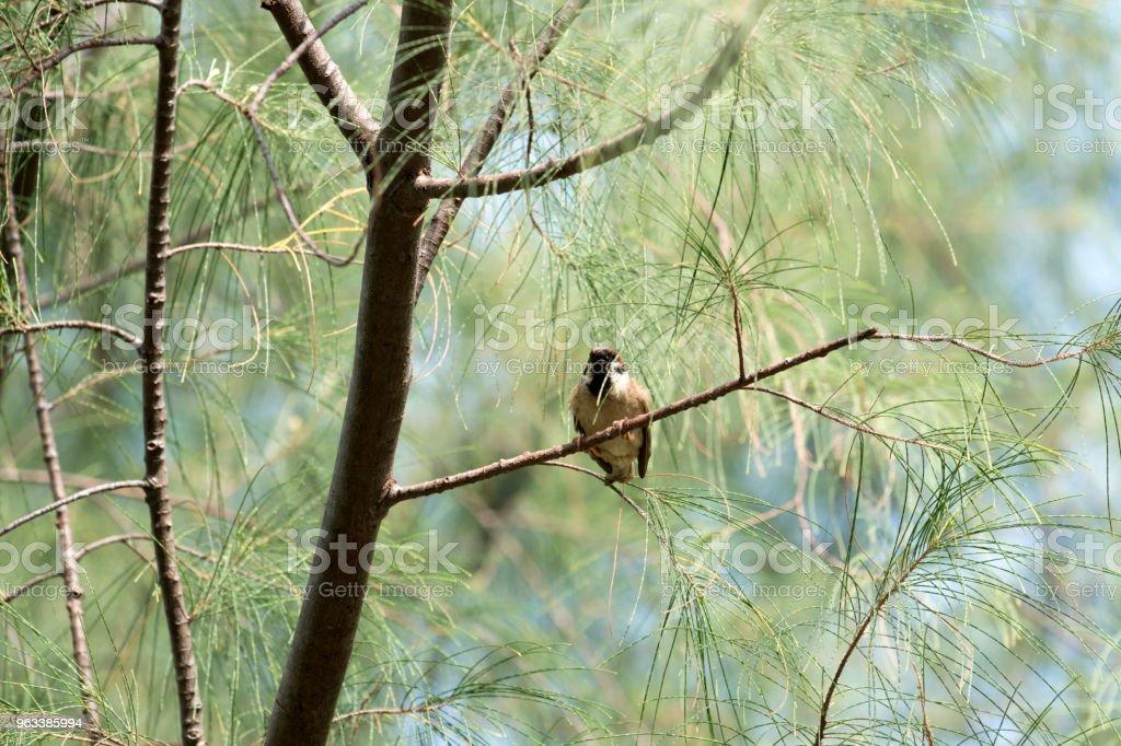 sparrow - Zbiór zdjęć royalty-free (Brązowy)
