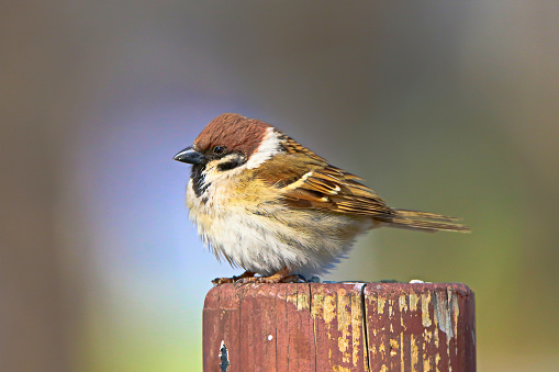 The cute sparrow is resting comfortably.