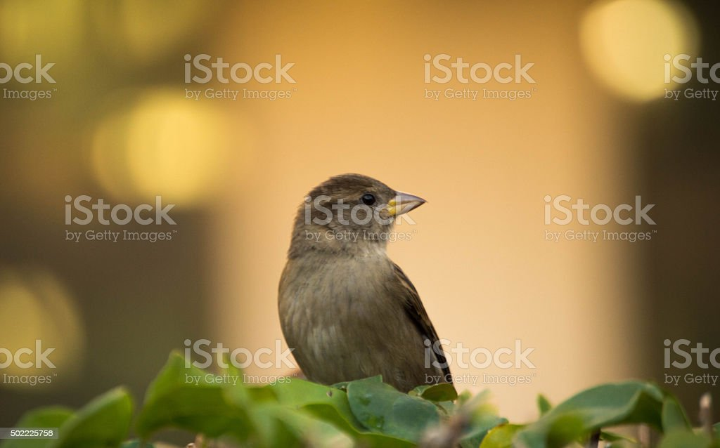 Sparrow Resting stock photo