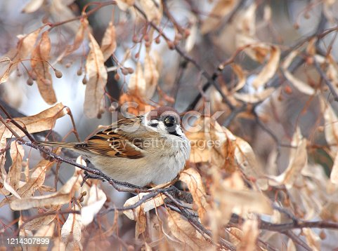 istock Sparrow sits on lip branch 1214307899