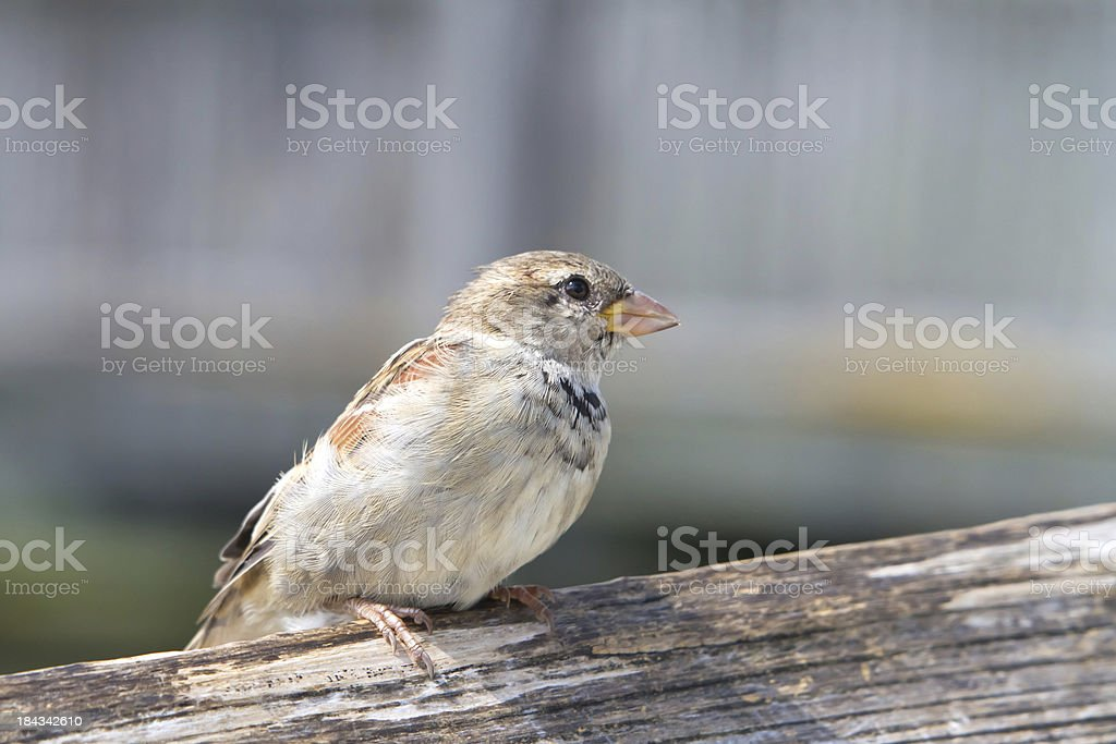 Sparrow sitting on a fence royalty-free stock photo