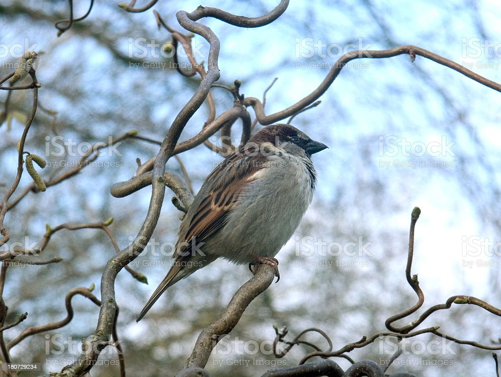 Sparrow sitting on branch in tree royalty-free stock photo