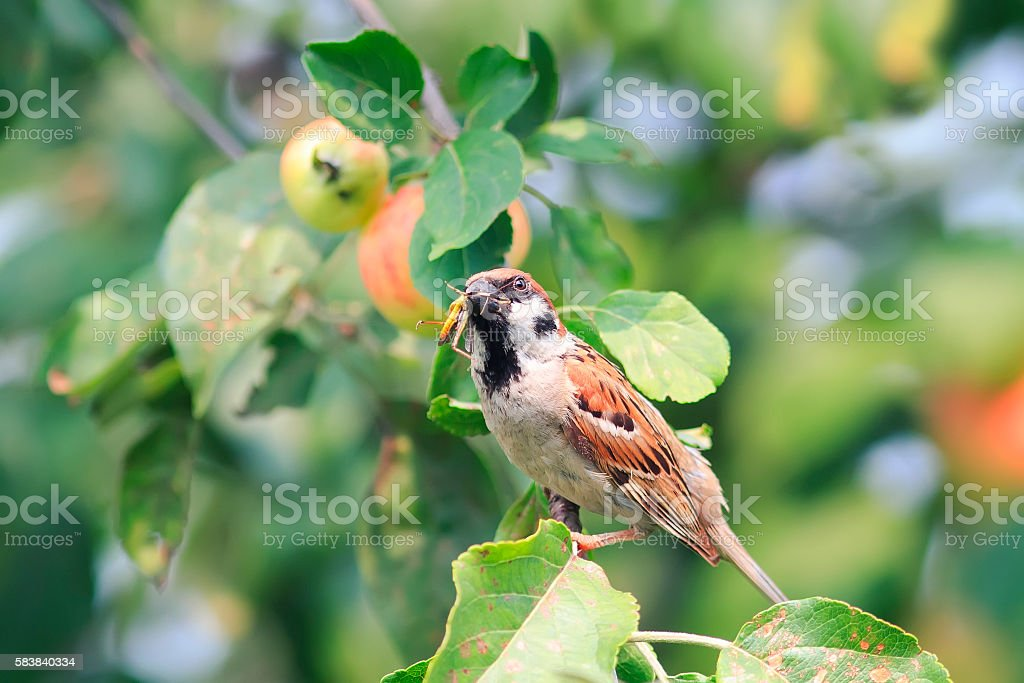 Sparrow sitting on the branches with ripe apples stock photo