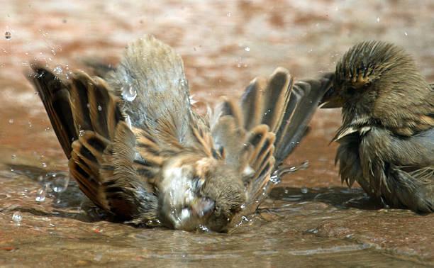 Sparrow splashing stock photo