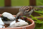Sparrow takes a drink from the bird bath