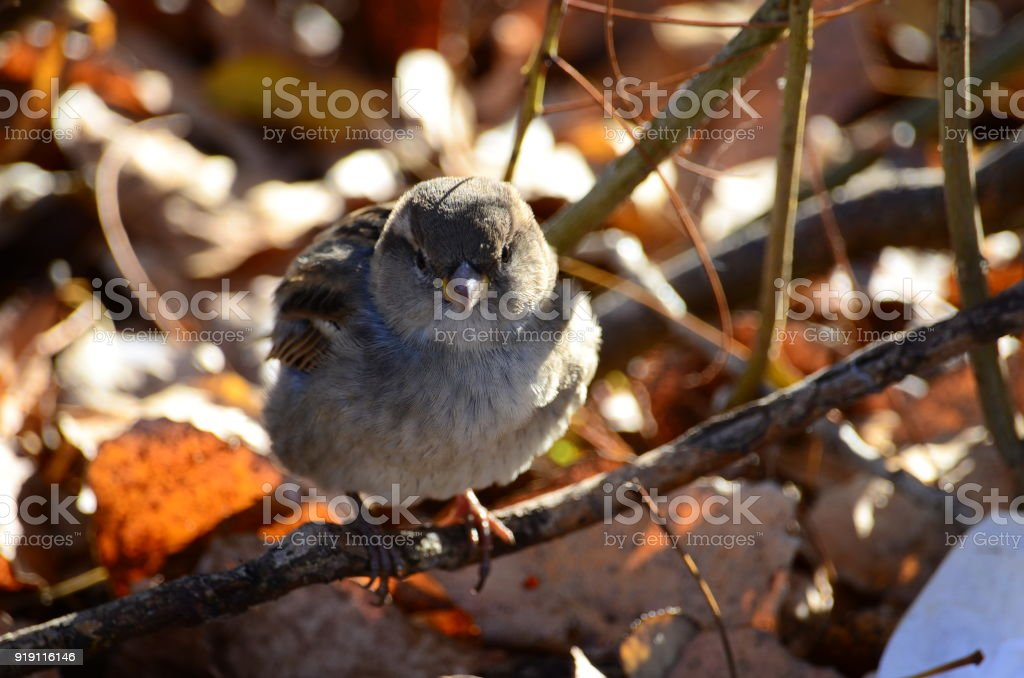 Sparrow warms in the sun stock photo