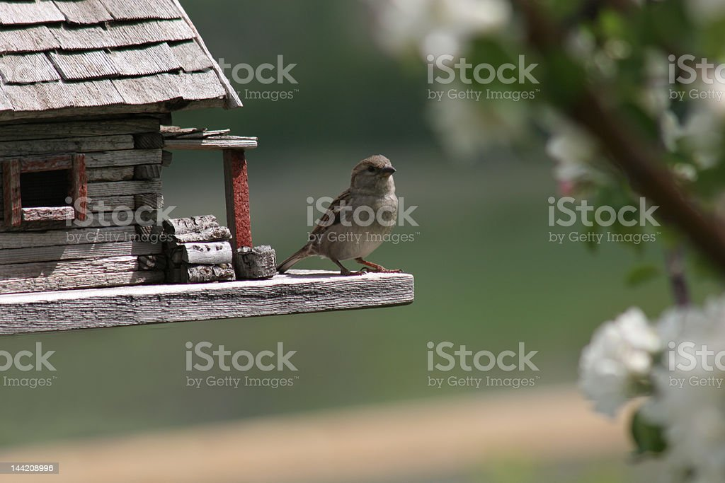 Sparrow watching from bird house stock photo