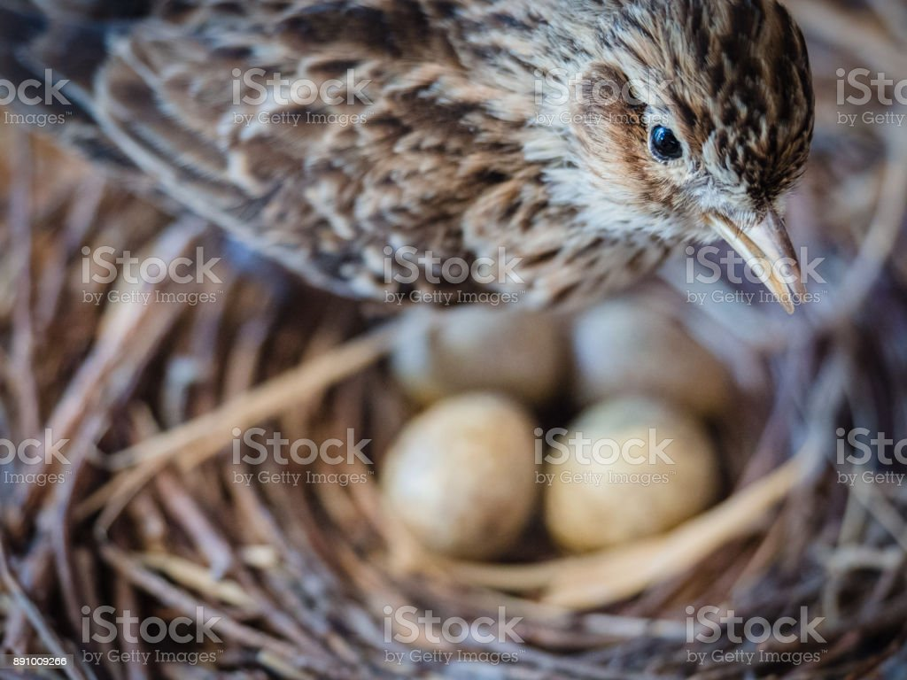 Sparrow with eggs in the nest. stock photo
