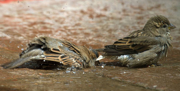 Sparrow with head in water stock photo