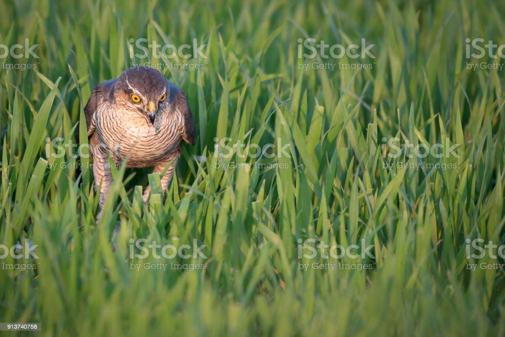 Sparrowhawk Hunting stock photo