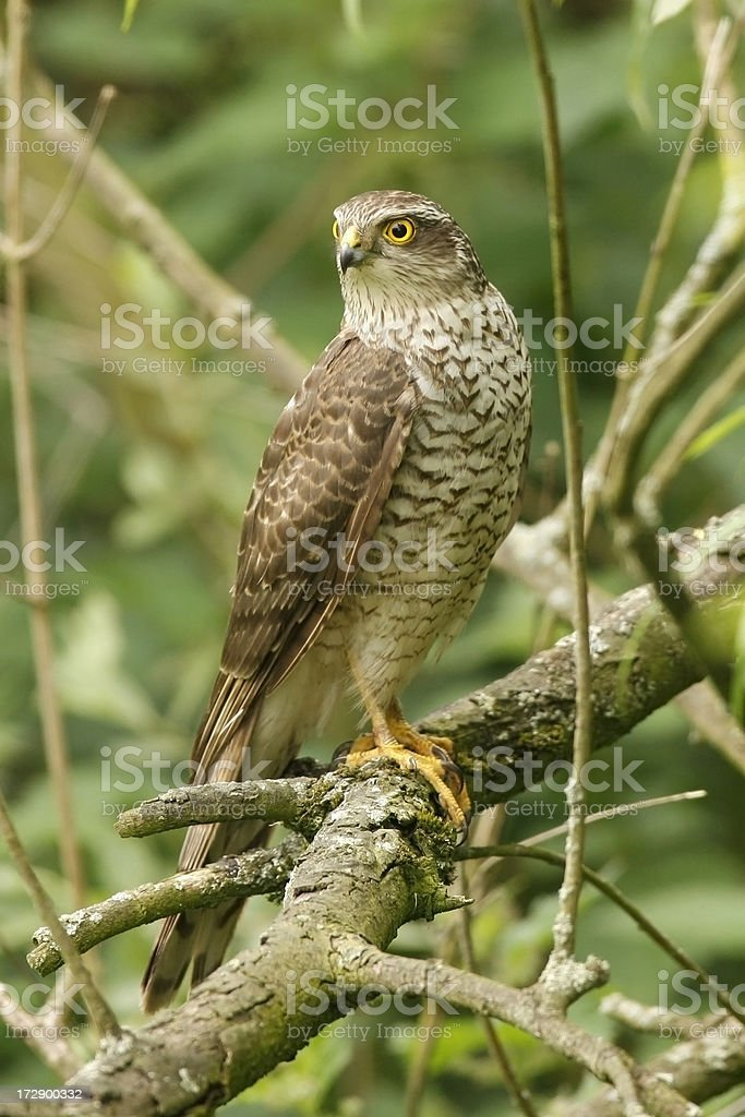Sparrowhawk (Accipiter nisus) royalty-free stock photo