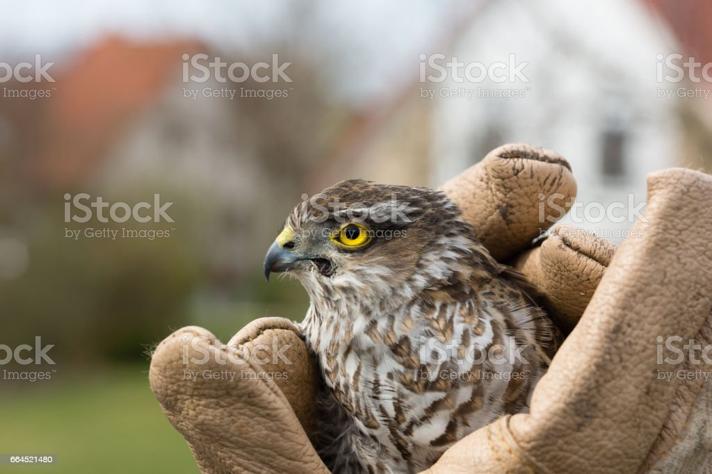 Sparrow-hawk royalty-free stock photo