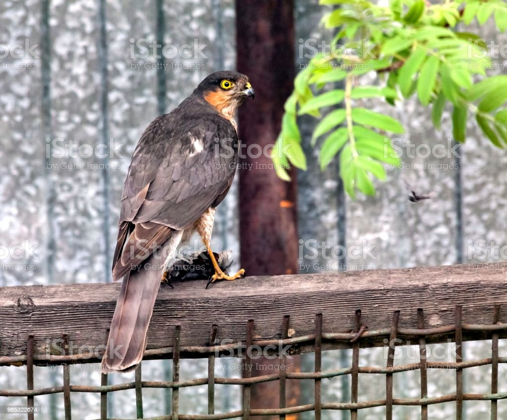 Sparrowhawk sitting on the fence royalty-free stock photo