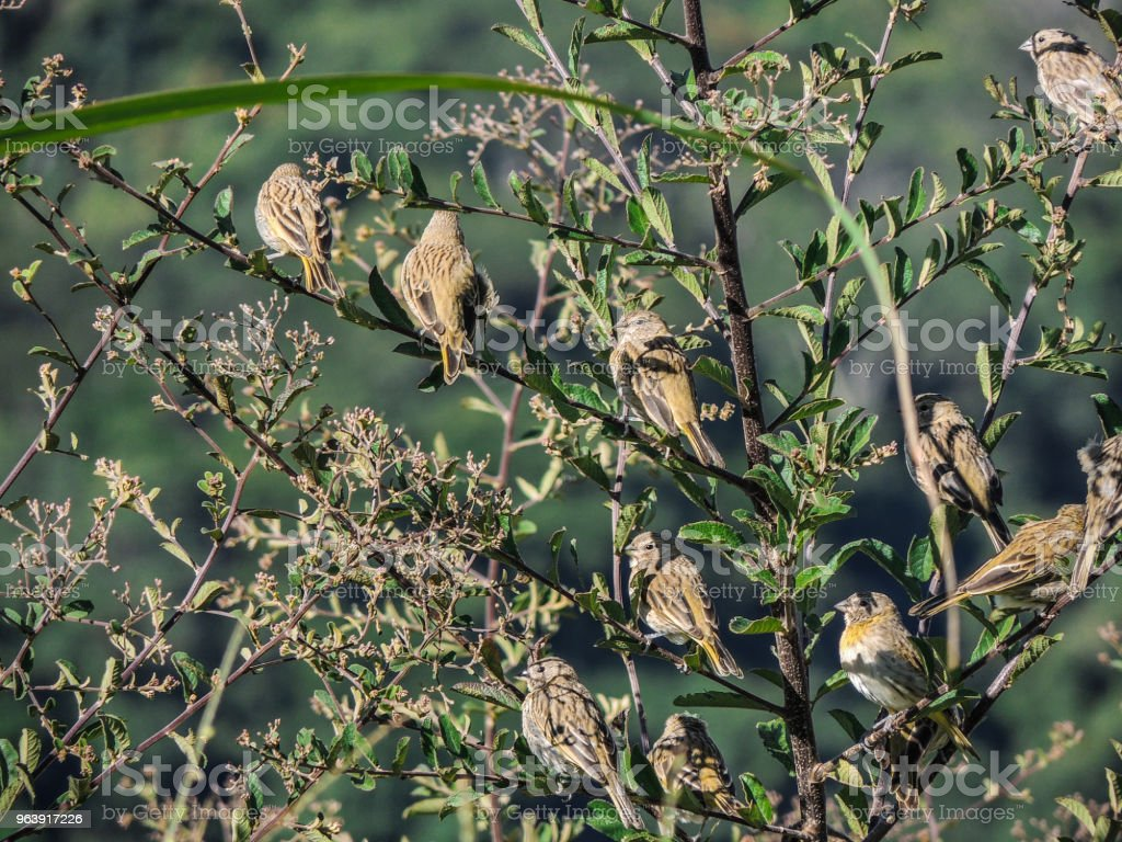 Sparrows among Branches - Royalty-free Animal Stock Photo