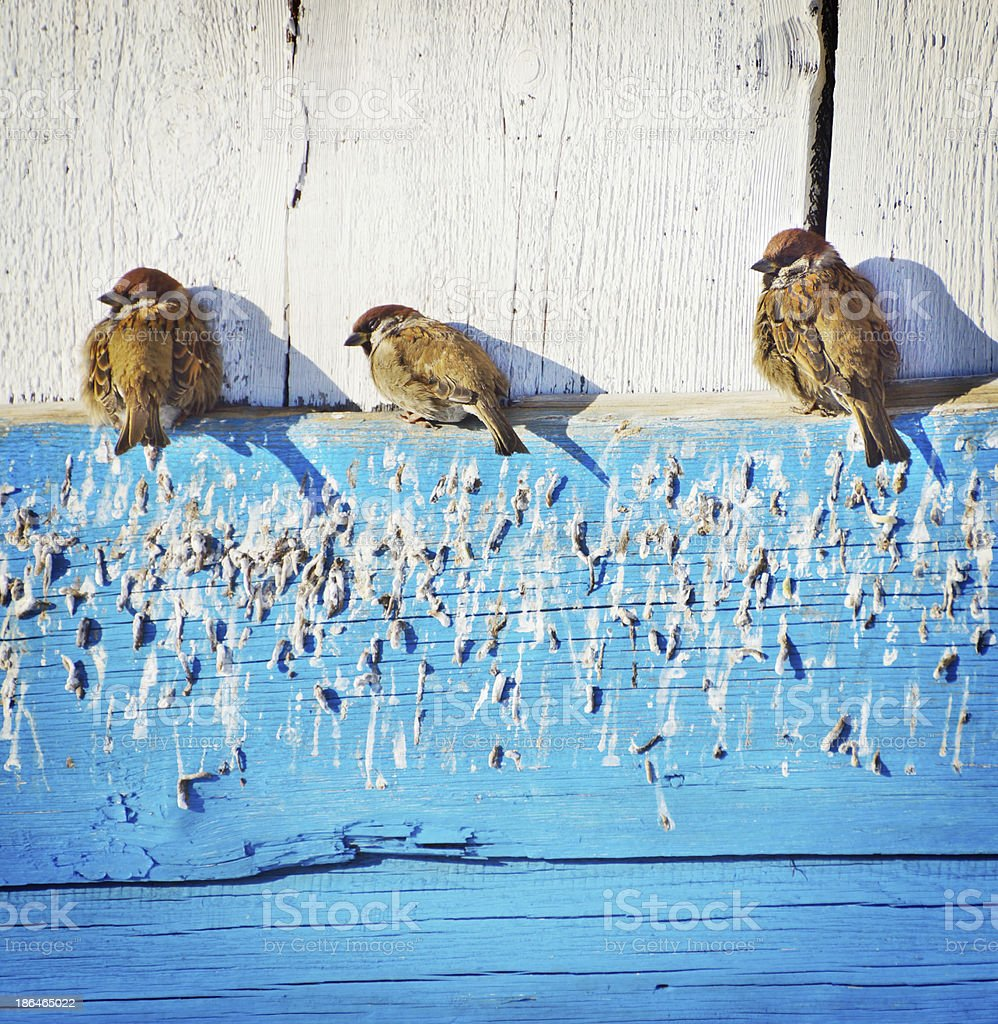 Sparrows bask under the sun stock photo