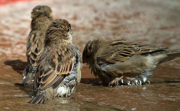 Sparrows bathing stock photo