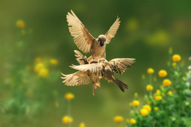 Sparrows fighting on the air stock photo