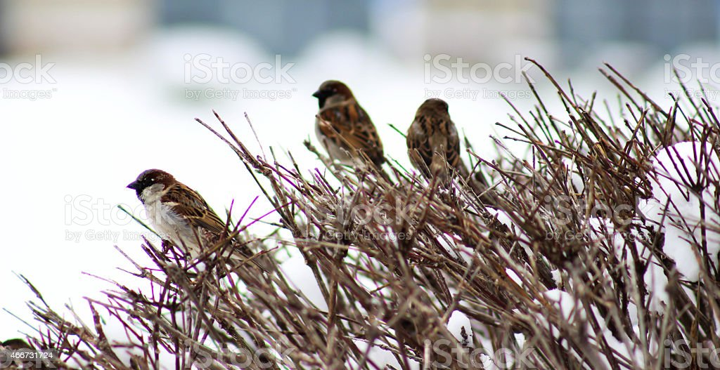 Sparrows in the Bushes stock photo