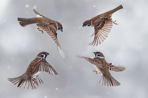sparrows in the snow stock photo