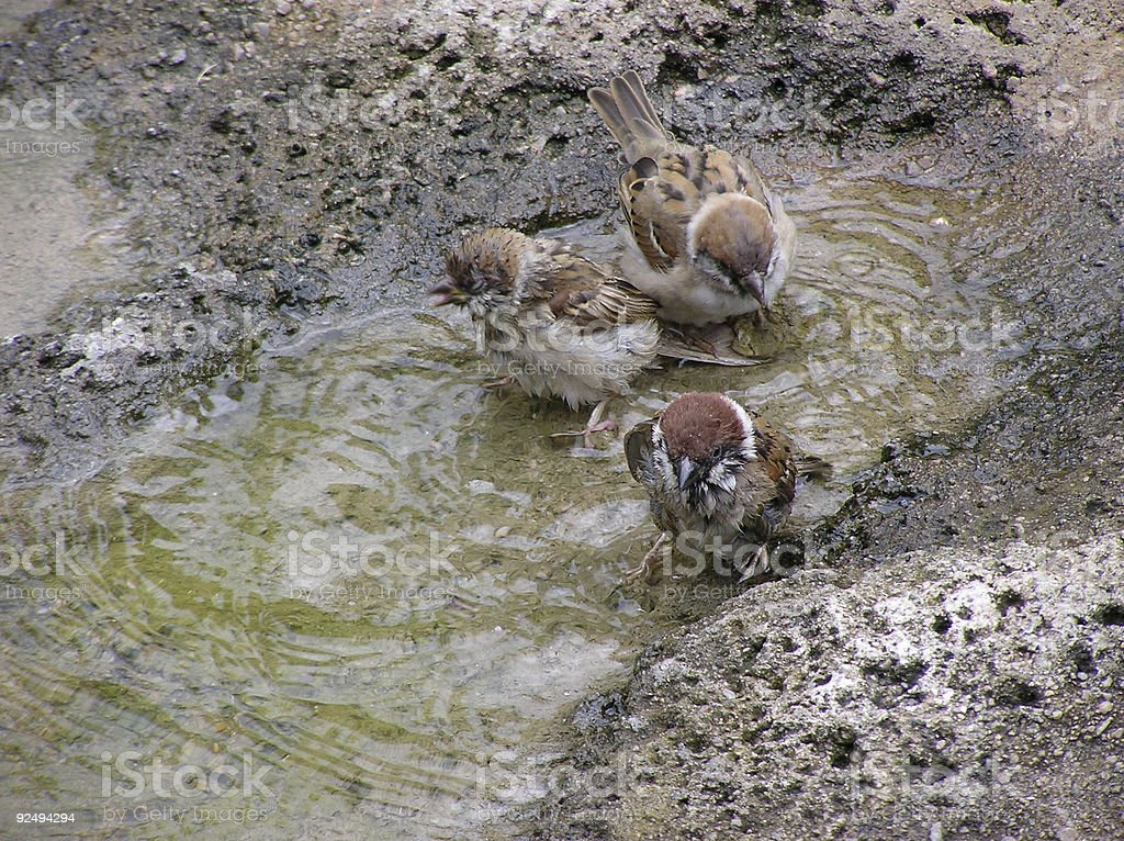 Sparrows in wash royalty-free stock photo