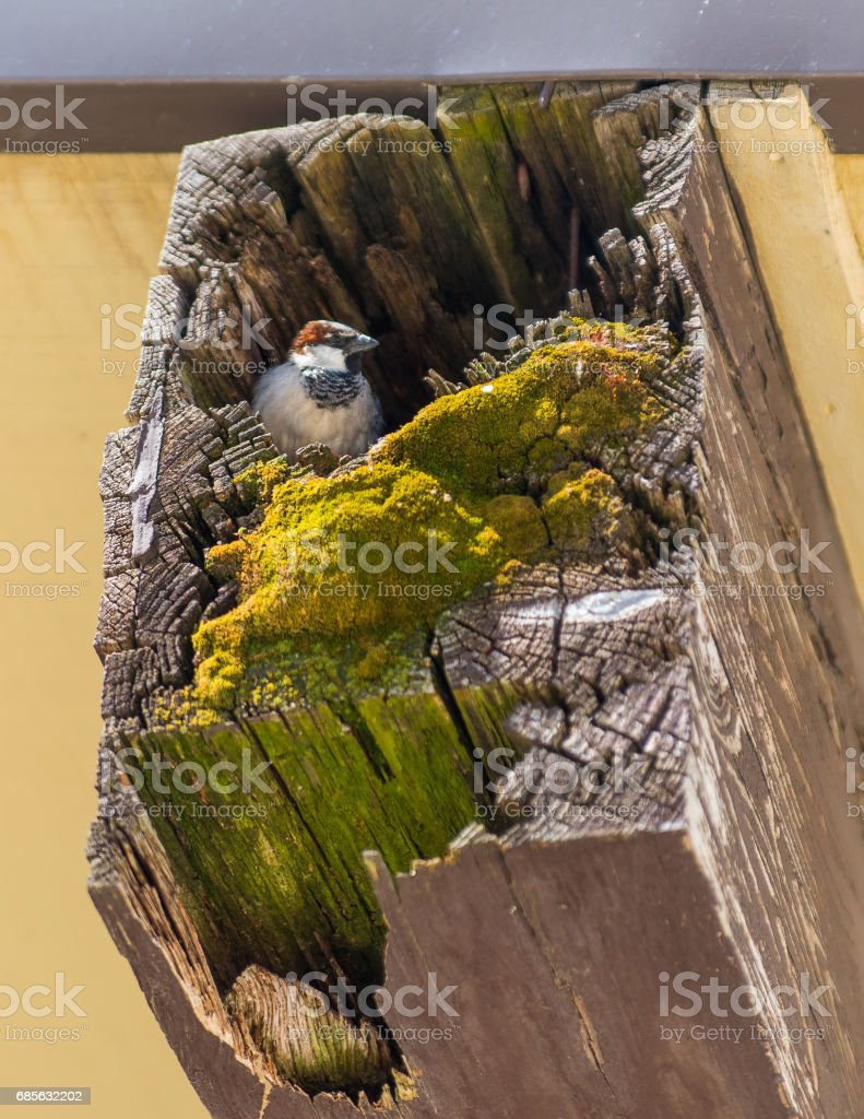 Sparrow's nest foto de stock royalty-free