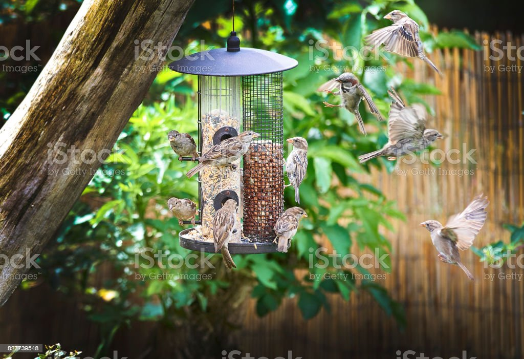 sparrows on feeder stock photo