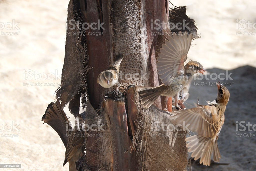 Sparrows perched on a palm tree trunk showing aggressive and defensive behaviour with out stretched wings stock photo
