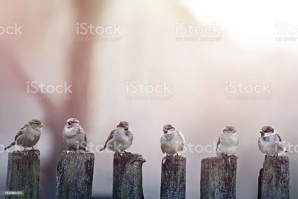 Sparrows perched on wooden poles stock photo