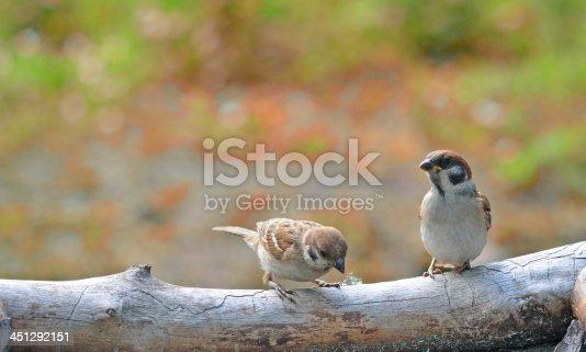 521620252 istock photo sparrows 451292151