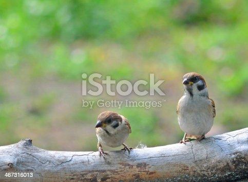 521620252 istock photo sparrows 467316013