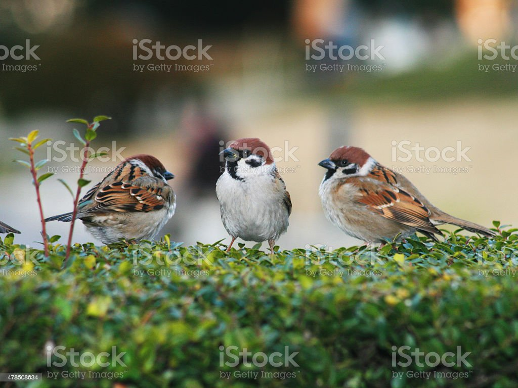 Sparrows stock photo