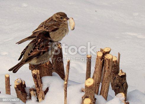 521620252 istock photo sparrows 932724622