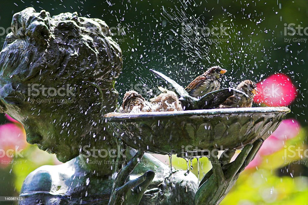 sparrows playing in bird bath stock photo