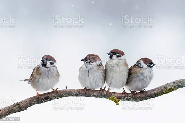 Sparrows sit on a branch in winter picture id504709248?b=1&k=6&m=504709248&s=612x612&h=eflkweaoqmpe7xg4ulnwtynor8 bft5f5bkmfys3vco=