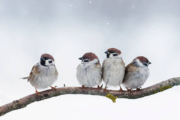 sparrows sit on a branch in winter stock photo