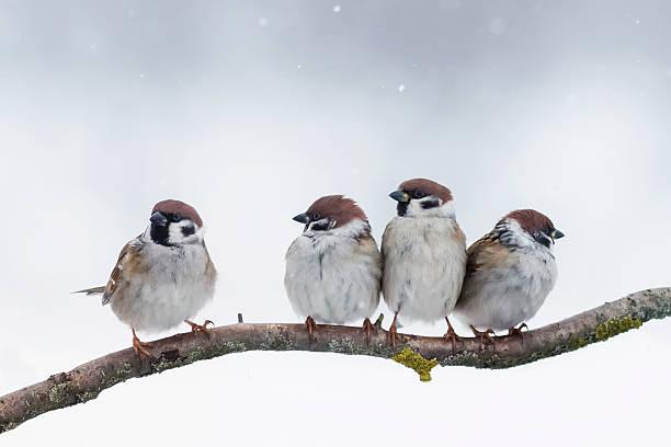 sparrows siéntese en una sucursal en invierno - pájaro fotografías e imágenes de stock