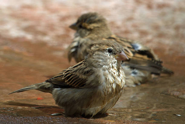 Sparrows sitting in water stock photo