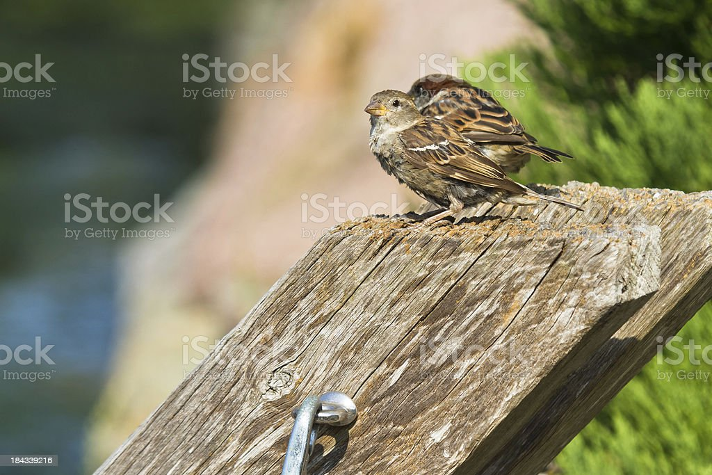 Sparrows sitting on a pole royalty-free stock photo
