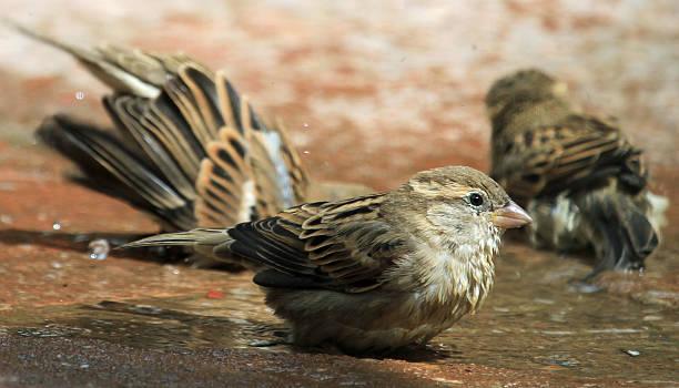 Sparrows splashing stock photo