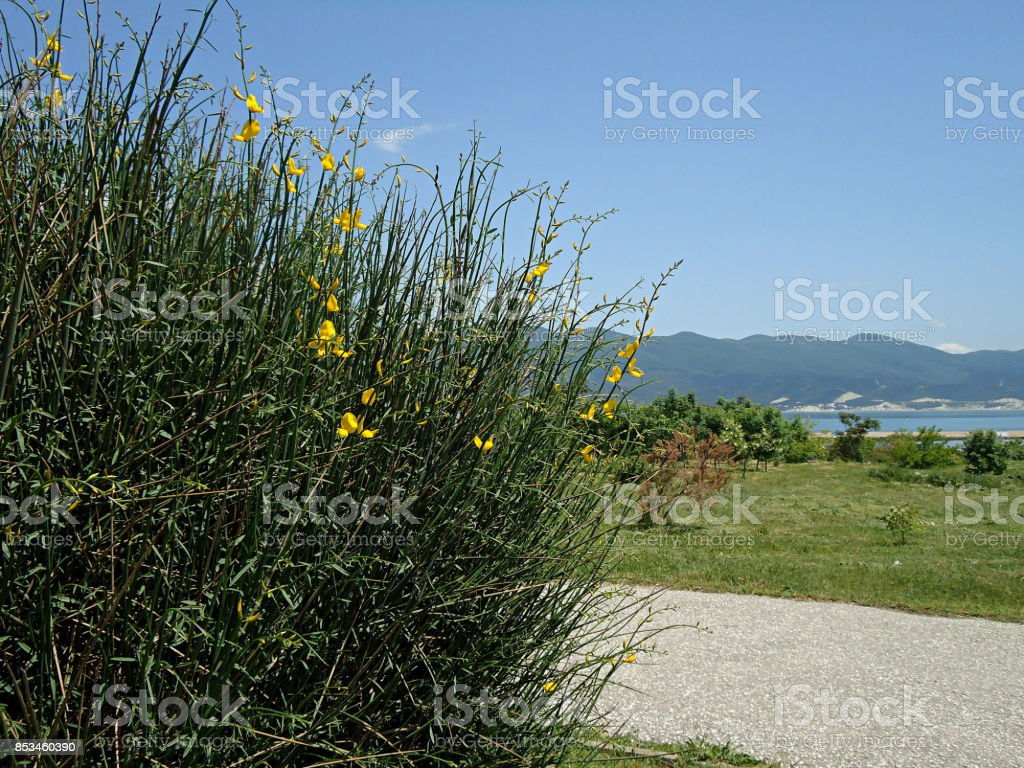 Spartium shrub begins to bloom along a path. Spanish broom. Weaver's broom. stock photo