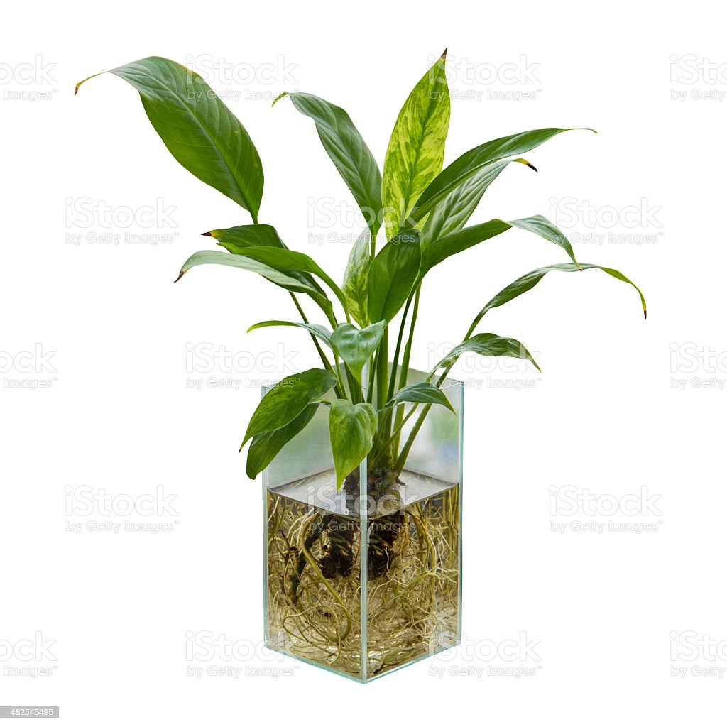 Spathiphyllum or peace lily in the glass vase stock photo more spathiphyllum or peace lily in the glass vase royalty free stock photo reviewsmspy