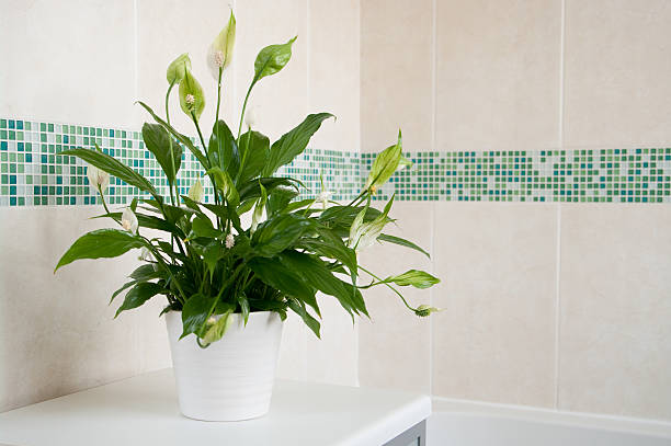 Spathiphyllum Peace Lily indoor plant Spathiphyllum (Peace Lily) in white ceramic pot in front of mosaics of green and plain cream ceramic wall tiles. Focus is on centre of plant with depth of field blur. bathroom plant stock pictures, royalty-free photos & images