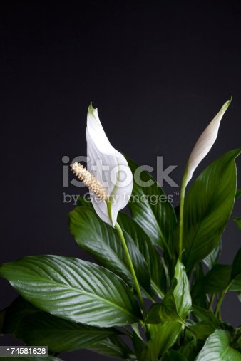 House plant also known as Peace Lily