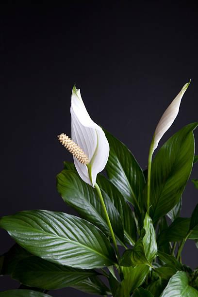 Spathiphyllum stock photo