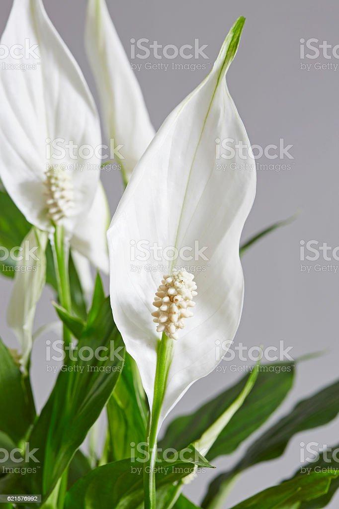 Spathiphyllum,Peace lily photo libre de droits